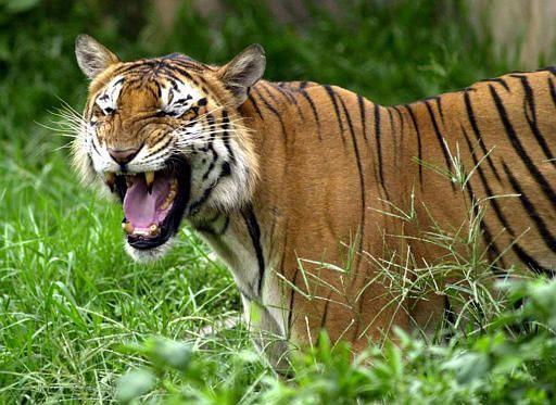 http://www.italynews.ru/files/tigre.jpg